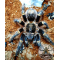 Grammostopa pulchripes / Chaco Golden Knee 2 fh   (1cm)