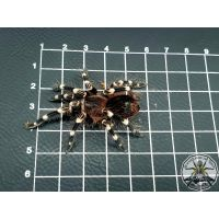 Acanthoscurria geniculata / Brazilian white knee 3-3.5 cm BODY (DC)  PAIR